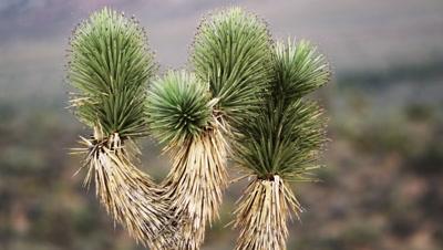 Desert joshua tree during the day