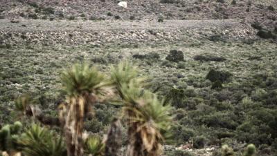Pan of desert plants, including joshua tree, creosote, and brush
