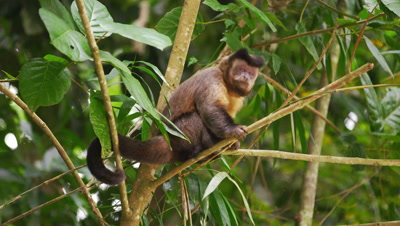 Slow motion footage of a capuchin monkey sitting on a tree branch.