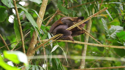 Capuchin monkey gnawing on a small branch.