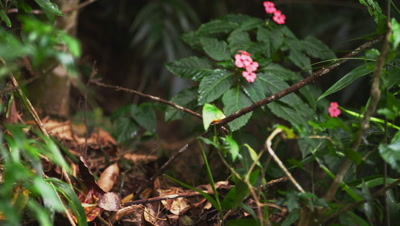 Zoom in rack focus slow motion dense jungle floor with a Capuchin monkey,