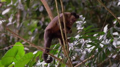 Capuchin monkey feeds from a tree.