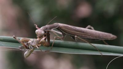 Praying mantis on a leaf eating a grasshopper.