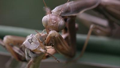 Extreme tight shot of praying mantis eating a grasshopper.