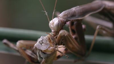 Extreme tight shot of praying mantis eating a grasshopper's head.