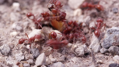 Swarm of fire ants attacking a grasshopper.