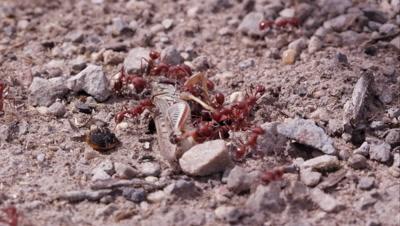 Two dozen fire ants swarming a grasshopper.