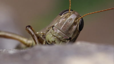 Macro shot of a grasshopper's head.