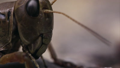 Extreme macro of grasshopper crawling across frame.
