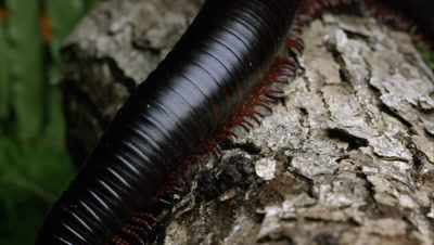 Macro shot of a giant African black millipede crawling on some bark.
