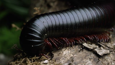 Macro shot of a giant African black millipede crawling by on some bark.