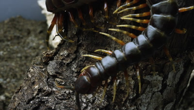 Peruvian Giant Centipede crawling on some bark.