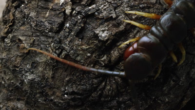 Extreme close shot of a Peruvian Giant Centipede crawling on some tree bark.