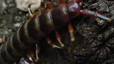 Extreme close shot of a Peruvian Giant Centipede crawling on some bark.