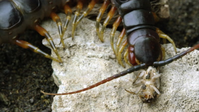 Extreme close shot of a Peruvian Giant Centipede eating another bug.