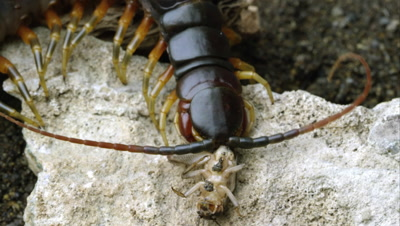 Extreme close shot of a Peruvian Giant Centipede eating a bug.