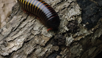 Extreme close up of an African Strap Millipede crawling down some bark.