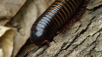 Macro shot of an African Strap Millipede crawling down some bark.