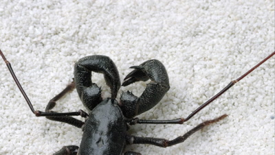 Tight shot of a Giant Vinegaroon crawling on some white sand.