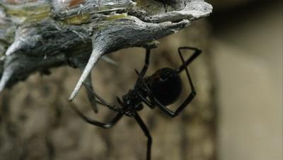Western Black Widow crawling around on a stick.