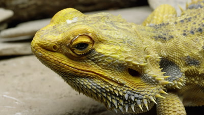 Tight shot of a Yellow Bearded Dragon lizard's head.