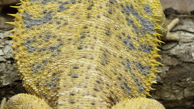 Tight shot of a Yellow Bearded Dragon lizard's back.
