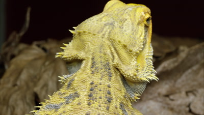 Tight tilting down shot of a Yellow Bearded Dragon lizard's back.