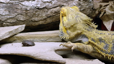 Tight shot of a Yellow Bearded Dragon lizard eating a bug.