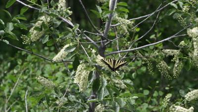 Tiger Swallowtail Butterfly on flower of green tree.