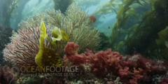 Kelp Forest Scenic With Gorgonians In Foreground
