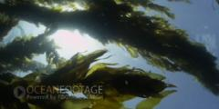 Kelp Forest Scenic With Sunlight Overhead In Current
