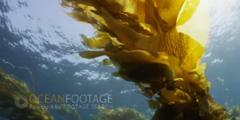 Kelp Forest Scenic With Sunlight-Overhead
