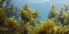 Kelp Forest Scenic With Sunlight Glinting Overhead