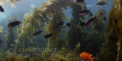Kelp Forest Scenic With Garibaldi And Blacksmith
