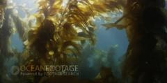 Kelp Forest Scenic -Truck Move Through Kelp With Sunlight