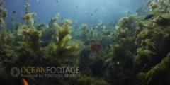 Kelp Forest Scenic-Kelp Sways In Current-Sunlight Glinting-Truck Through Kelp
