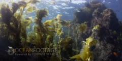 Kelp Forest Scenic-Kelp Swaying In Current-Garabaldi Swims To Lens