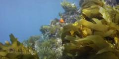 Kelp Covered Rock Pinnacle - Sun Glinting At Surface