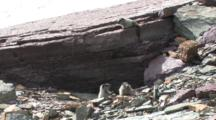 Four Babies Marmot Playing On The Rock,