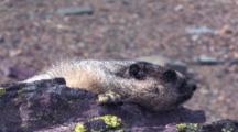 Marmot Resting On A Rock