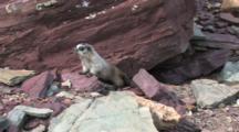 Marmot Playing On The Rocks,
