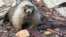 Marmot Standing In The Wind,