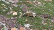 Marmot Looking For Food,