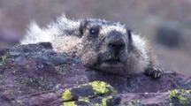 Marmot Rests On Rock