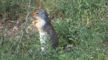 Squirrel Eating Grass,