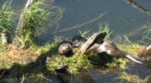 Mother And Baby Otter By The River,