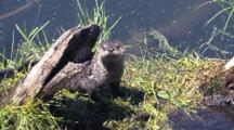 Otter Resting By The River,
