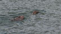 Family Of Otter Swimming In The River,