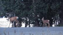 Two Deer Crossing The Road,