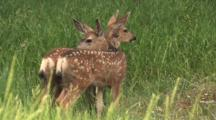 Two Fawns In The Woods,